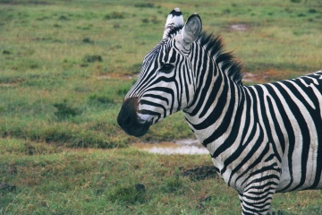 zebra, safari, animal, wildlife, savanna, equine