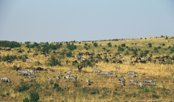 gnu, animal, grassland, landscape, savanna, wildlife, grass, nature, zebra