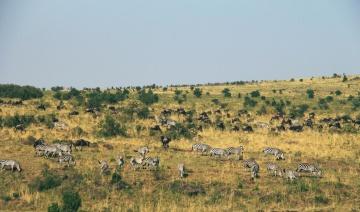 Gnu, tier, grasland, landschaft, savanne, wild lebende tiere, gras, natur, zebra