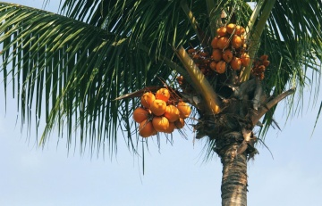 tree, fruit, palm tree, food, coconut