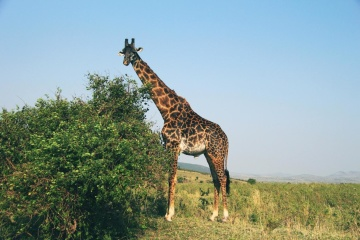 giraffe, wildlife, nature, Africa, wild, animal, grassland