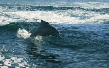 ocean, dolphin, sky, wave, water, ocean, sea, animal
