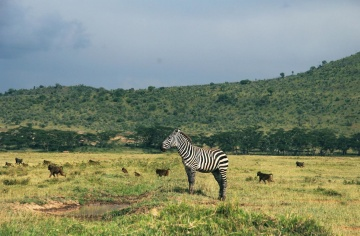 La faune, le zèbre, l'Afrique, l'animal, la savane, les prairies, les équins