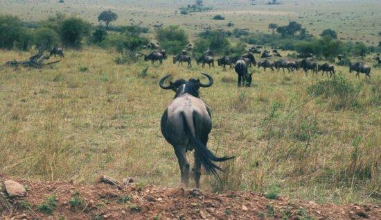 Gnu, animal, africa, fauna, sabana, pradera