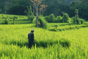 rice, landscape, agriculture, man, field, grass, sky