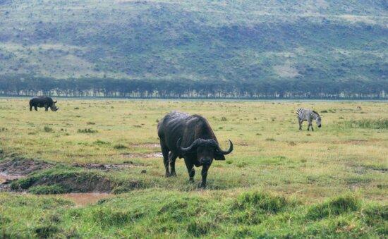 Bisonte, animal, ganado, hierba, salvaje, África, pastizales, rebaño
