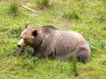 wildlife, nature, grass, wild, animal, bear