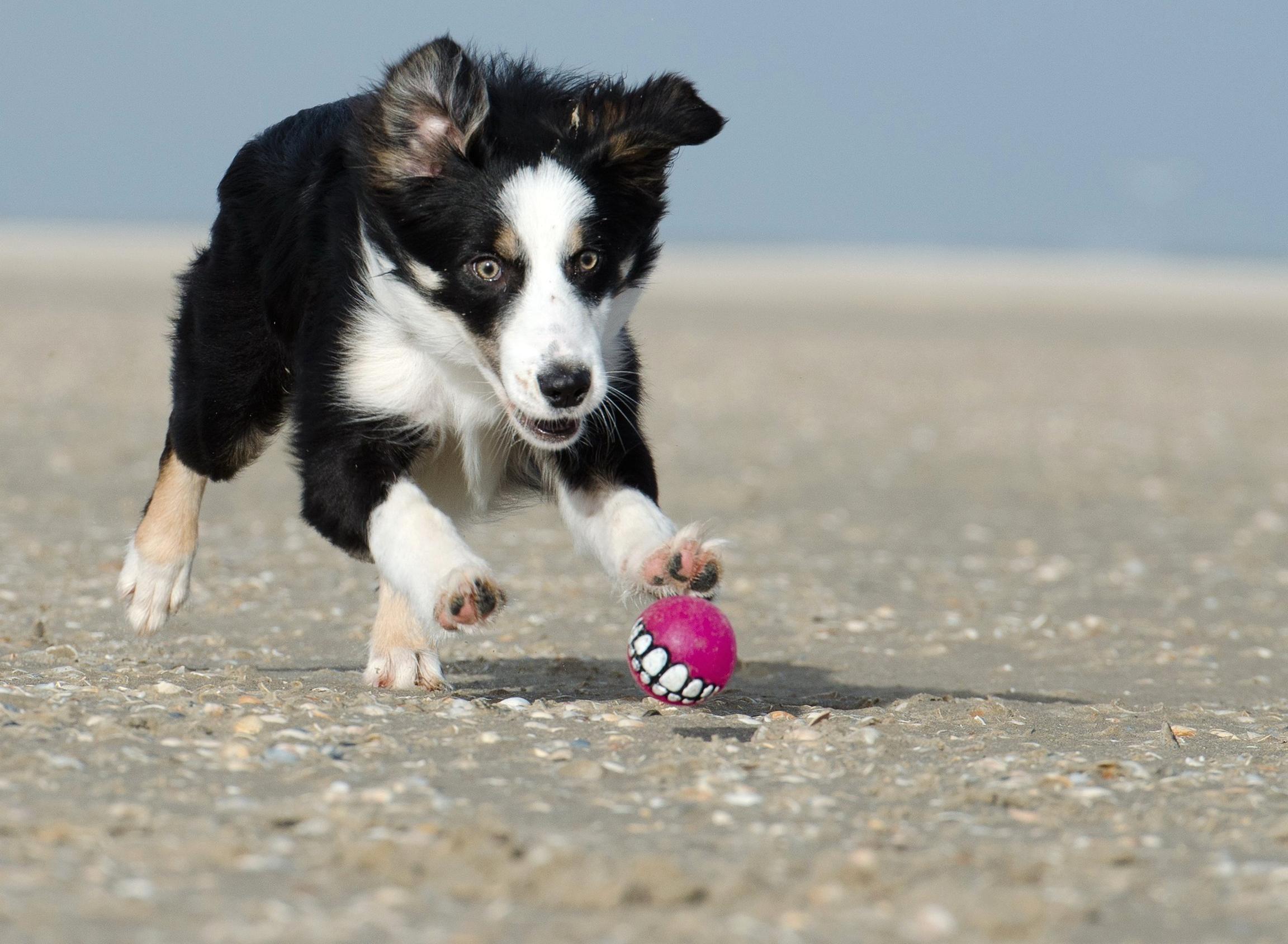 Free Picture Dog Beach Animal Canine Coast Summer