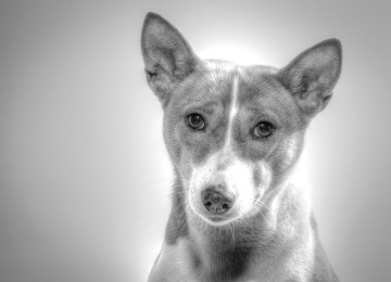 dog, canine, pet, animal, portrait, cute