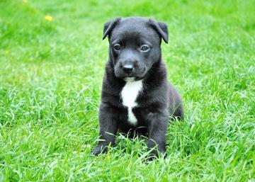 трева, куче, кучета, сладък, животните, териер