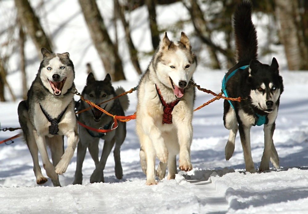 Slitta, cane, neve, inverno, slitta, freddo, cane, veloce