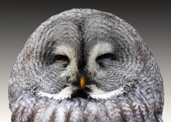 wildlife, owl, raptor, animal, bird, eye, portrait, nature, grey