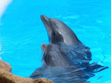 pod vodom, voda, dupina, životinja, oceana, mora, ribe, divljači