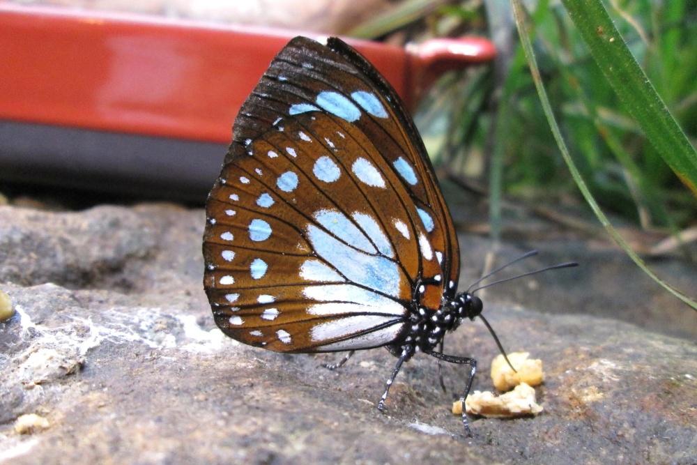 φύση, έντομο, πεταλούδα, καλοκαίρι, άγρια ζώα, ζώο, ασπόνδυλα