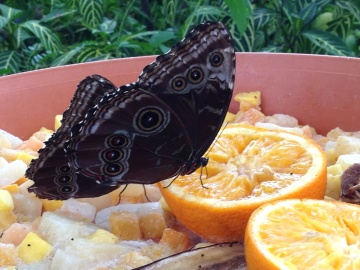 food, butterfly, insect, animal
