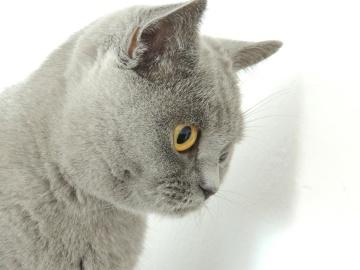 állat, macska, aranyos, portré, szőrme, kisállat, szürke, szem, belföldi, fiatal