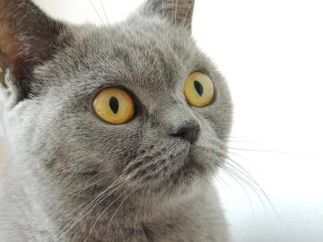 szem, aranyos, állat, portré, macska, bunda, szürke, kisállat, házimacska, haj