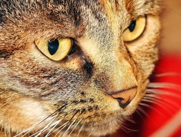 macska, szem, portré, aranyos, prémes állat, cica, kisállat, darukar macska
