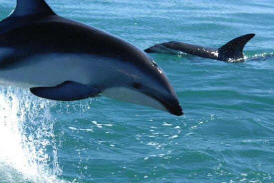 animal, dolphin, water, ocean
