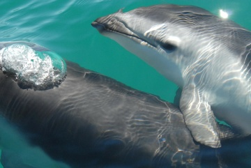 Eau, dauphin, sous-marin, faune, océan, mer