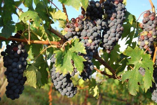 fruit, vineyard, grape, grapevine, agriculture, food
