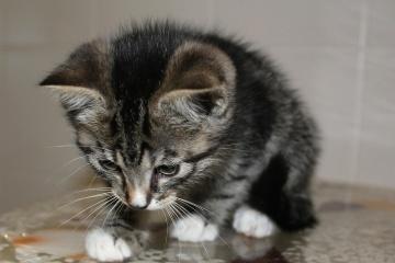 macska, kisállat, cica, aranyos, állat, portré, házimacska, szőrme, macska