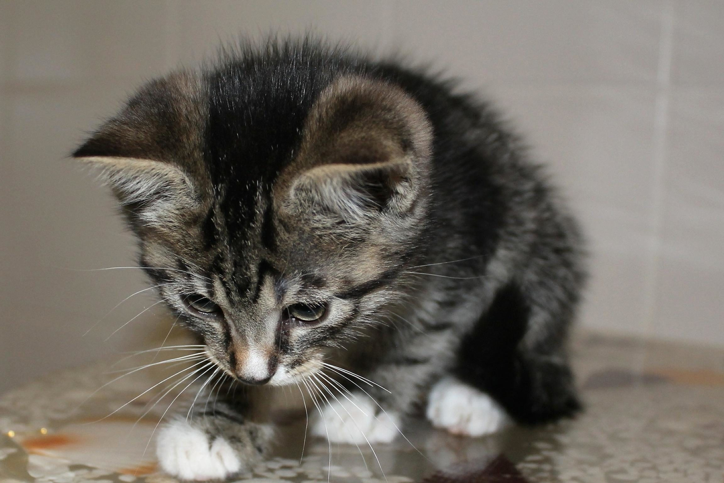 herbe à chat