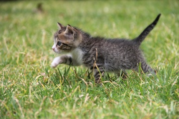 green grass, animal, cute, nature, cat, pet
