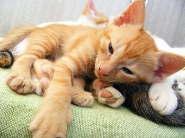 aranyos, kisállat, macska, állat, cica, macska, cica, szőrme, házimacska