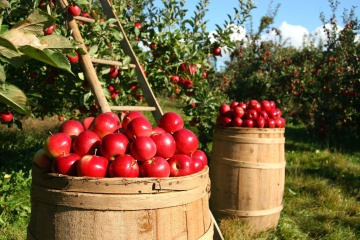 orchard, apple, food, fruit, still life, agriculture