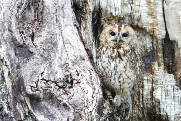 owl, tree, bird, nature, wood