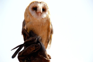 owl, raptor, bird, wildlife, animal, beak