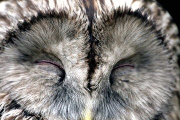 owl, wildlife, nature, animal, cute, portrait, beak