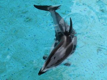 Subacqueo, acqua, pesce, delfino, animale