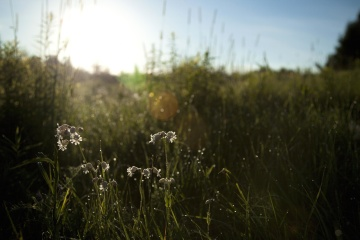 landscape, field, grass, hayfield, dawn, sun, flower, nature, grassland