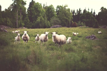 sheep, agriculture, farm, grass, livestock, hayfield, cattle, field