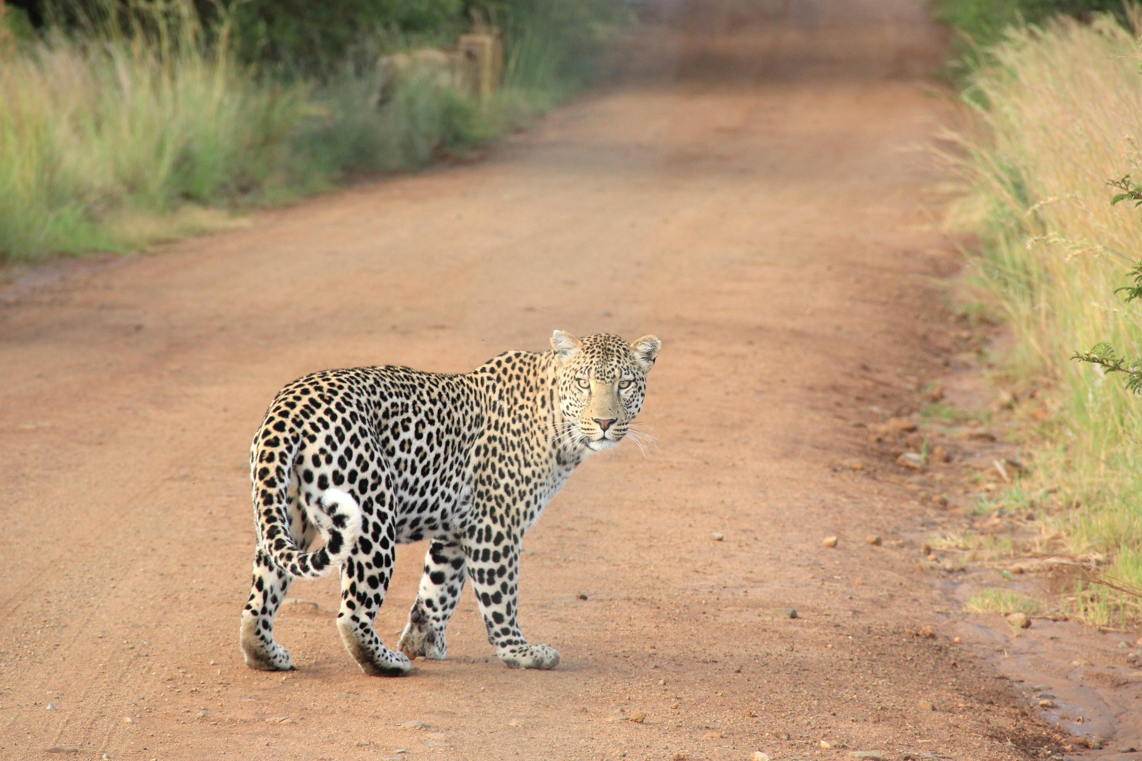 Kostenlose Bild Wild Lebende Tiere Natur Katze Wild