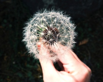 dandelion, nature, flora, flower, hand, finger