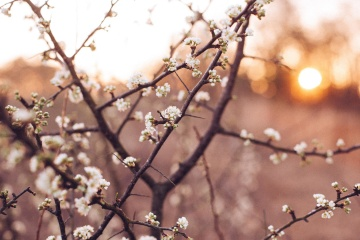 cherry tree, flower, tree, branch, nature, branchlet