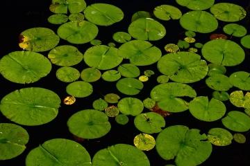 lotus, leaf, lily, flora, aquatic, water, garden, flower, lake