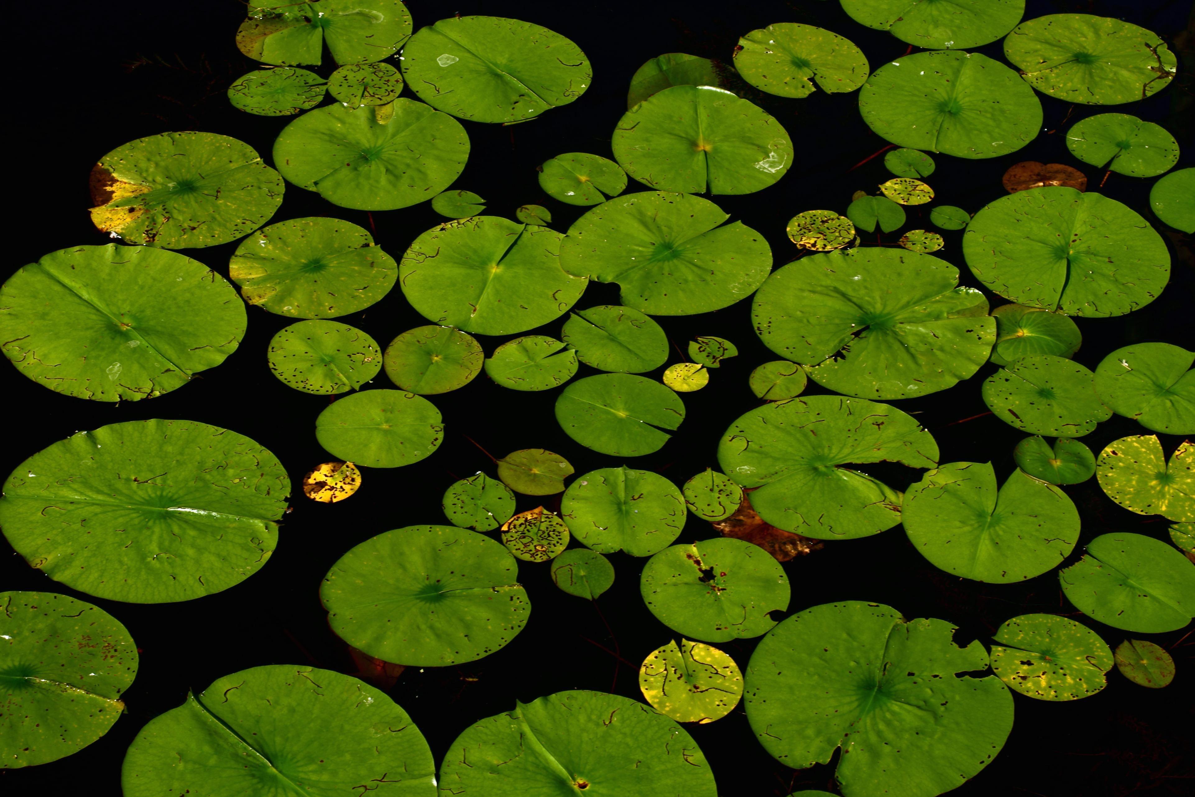 Imagen Gratis Loto Hoja Lirio Flora Acu 225 Tico Agua Jard 237 N Flor Lago