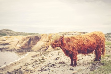 landscape, animal, cattle, nature, water, sand, beach, sky, summer, daylight, cow