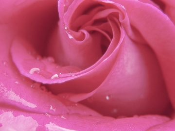 rose, flower, dew, petal, macro, petal, detail, fragrant