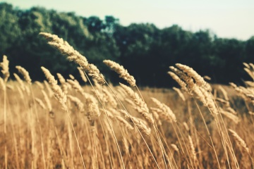wheat, cereal, straw, grass, rural, rye, dry, field, seed, summer