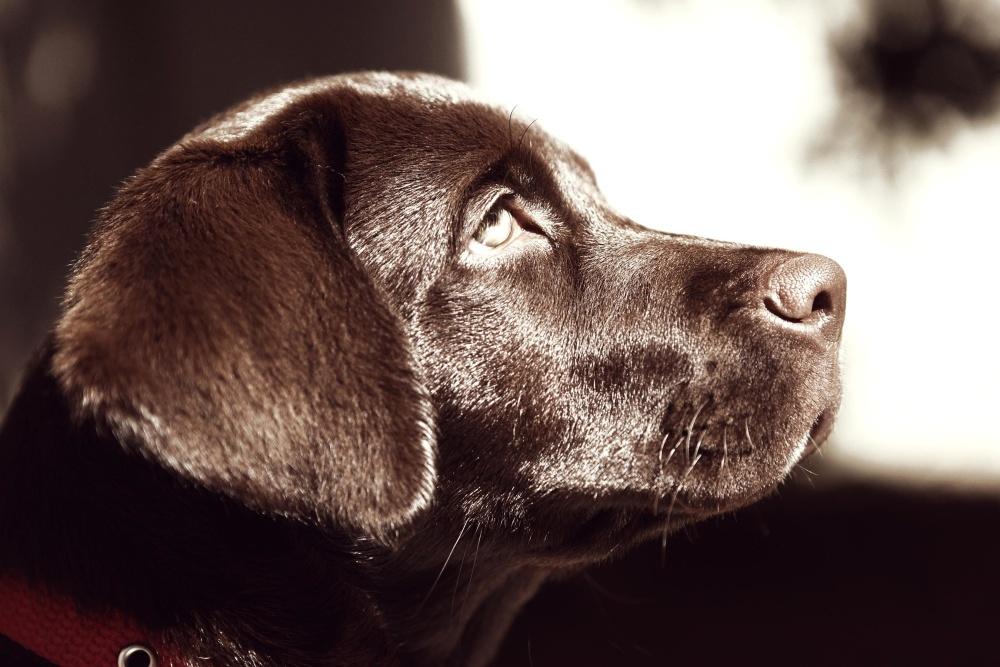 pies, zwierzę, portret, pieścić, monochromatyczne, Ładna, psów
