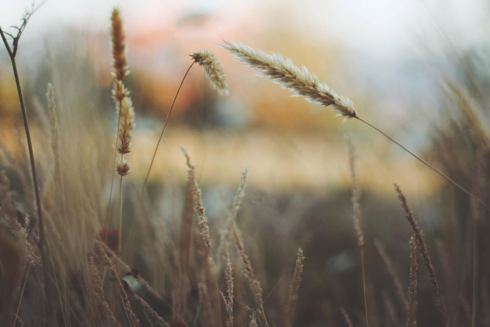 Weizen, getreide, feld, trocken, sumemr, bauernhof, ländlich, stroh, samen, natur