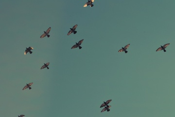 pigeon, flight, flock, sky, bird