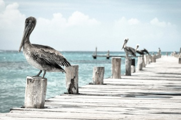pelican, bird, animal, water, sea, beach, ocean, seashore, sky