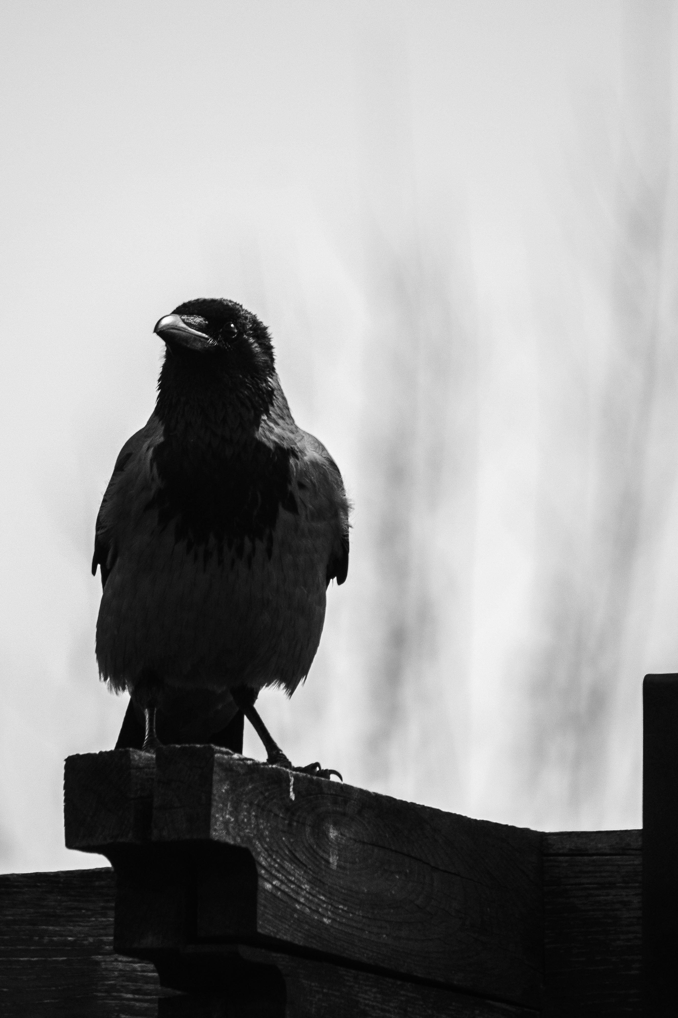 картинки черного ворона черно белые