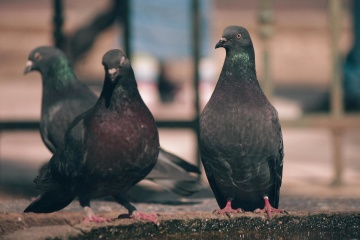 bird, pigeon, wildlife, asphalt, animal, black, dove